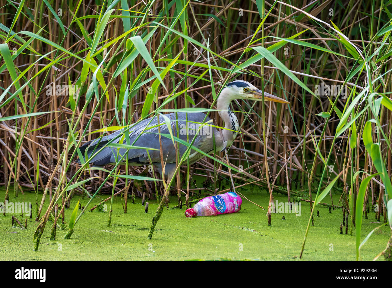 A Heron by a canal. The herons are the long-legged freshwater and coastal birds in the family Ardeidae Stock Photo