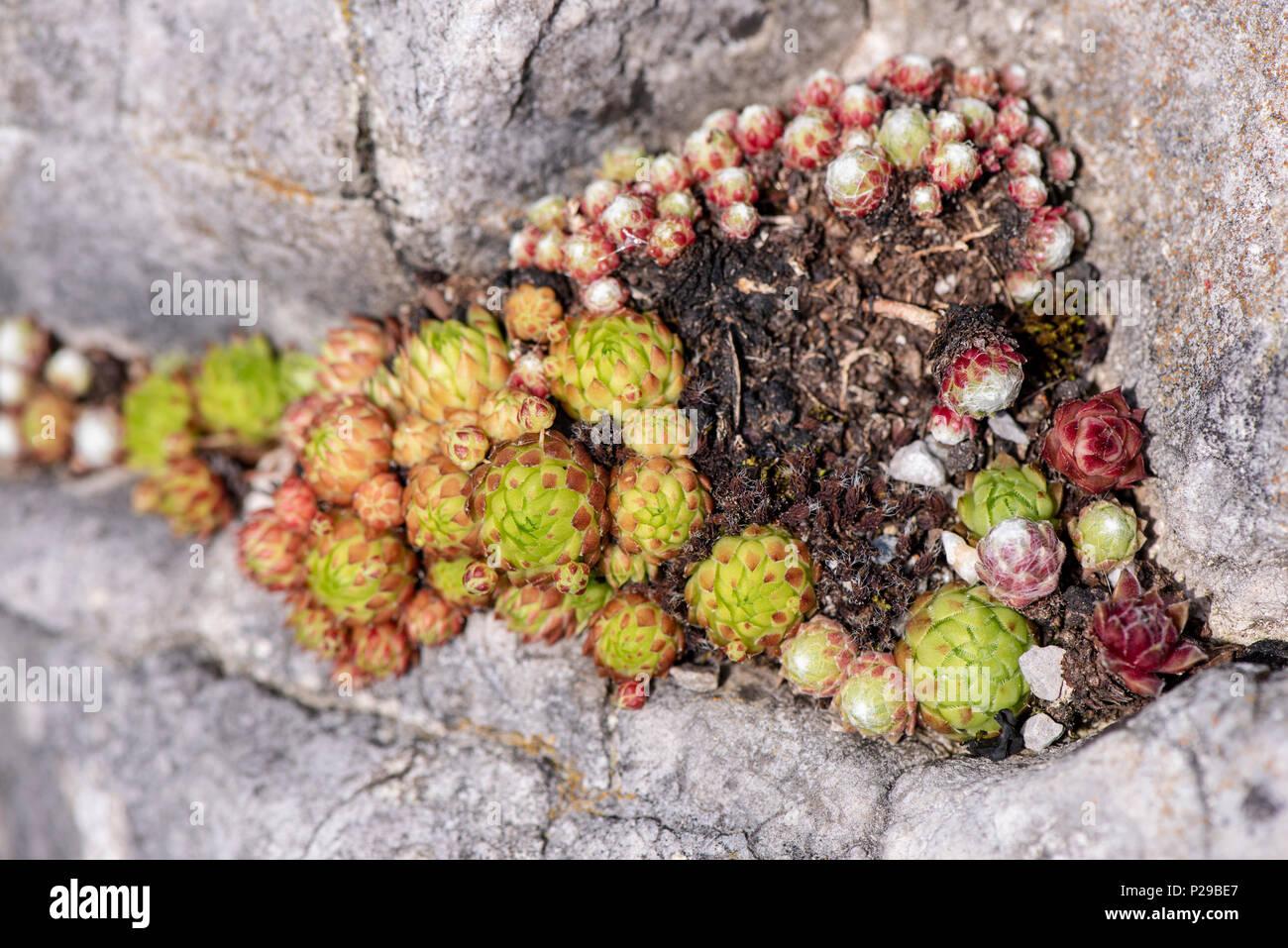 Hauswurz als Heilpflanze für Naturmedizin und Pflanzenheilkunde Stock Photo