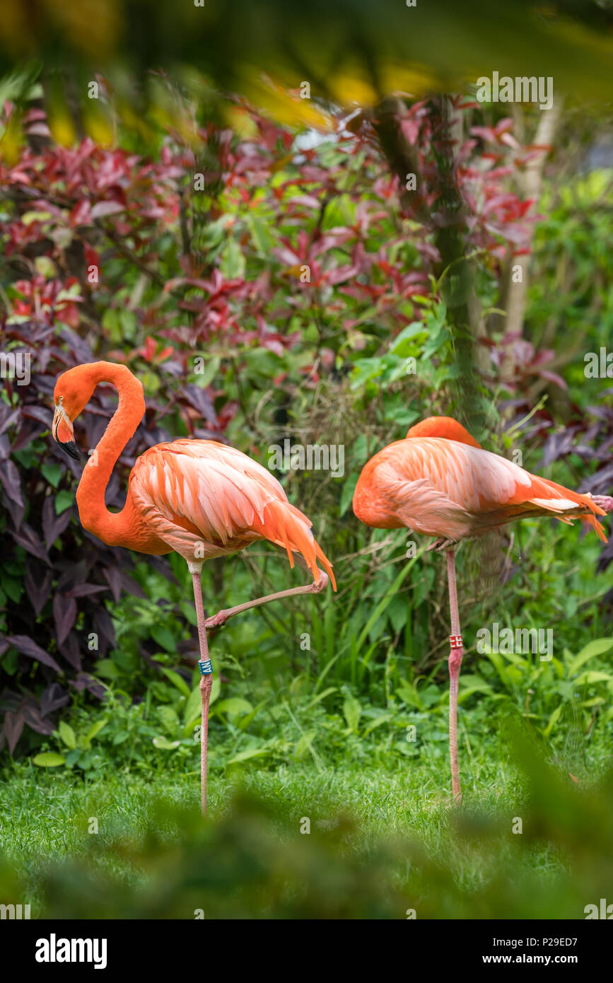 Beautiful pink Caribbean flamingos wading in a grass in a zoo - Stock Image