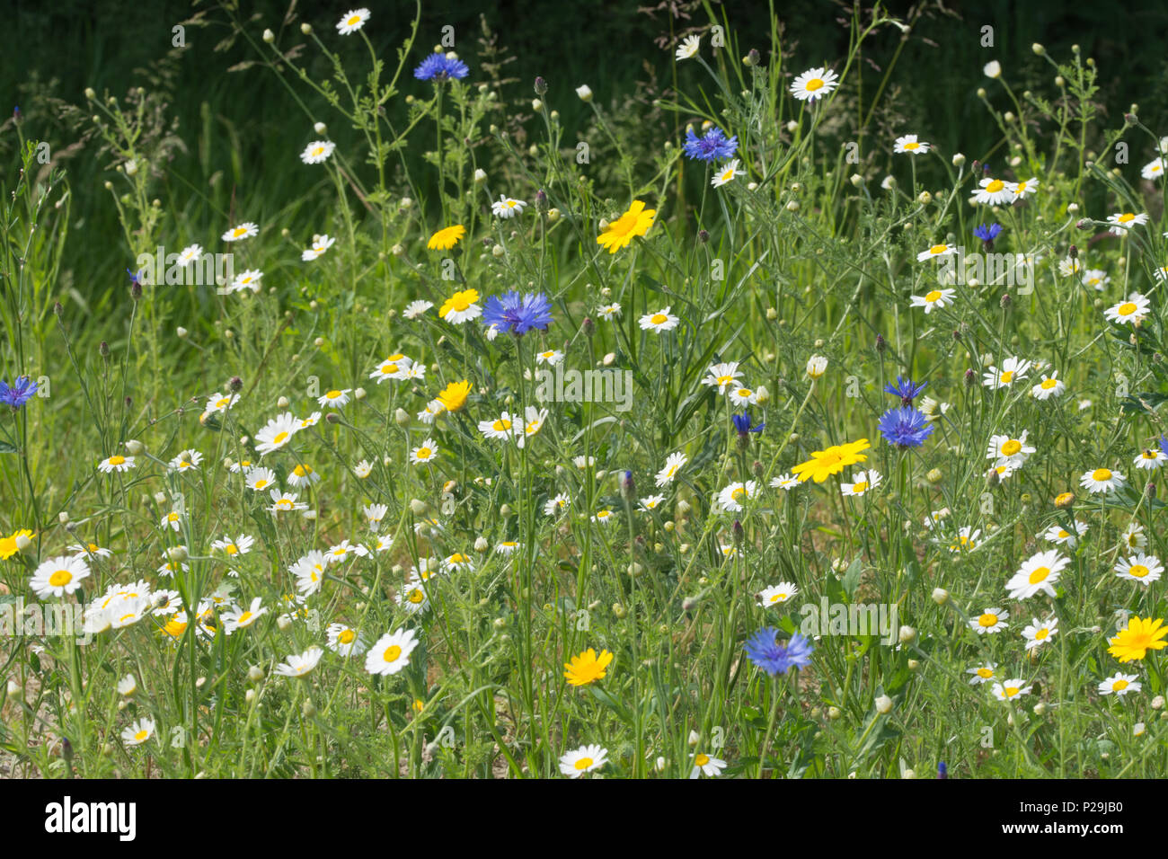 Colourful wildflowers including ox-eye daisiera and blue cornflowers at Bramshot Farm Country Park, Fleet, Hampshire, UK Stock Photo