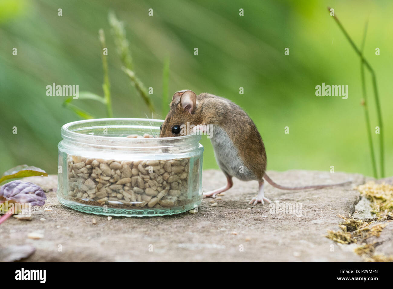 wood mouse or field mouse - apodemus sylvaticus - eating sunflower seeds put out for birds - Scotland, UK - Stock Image