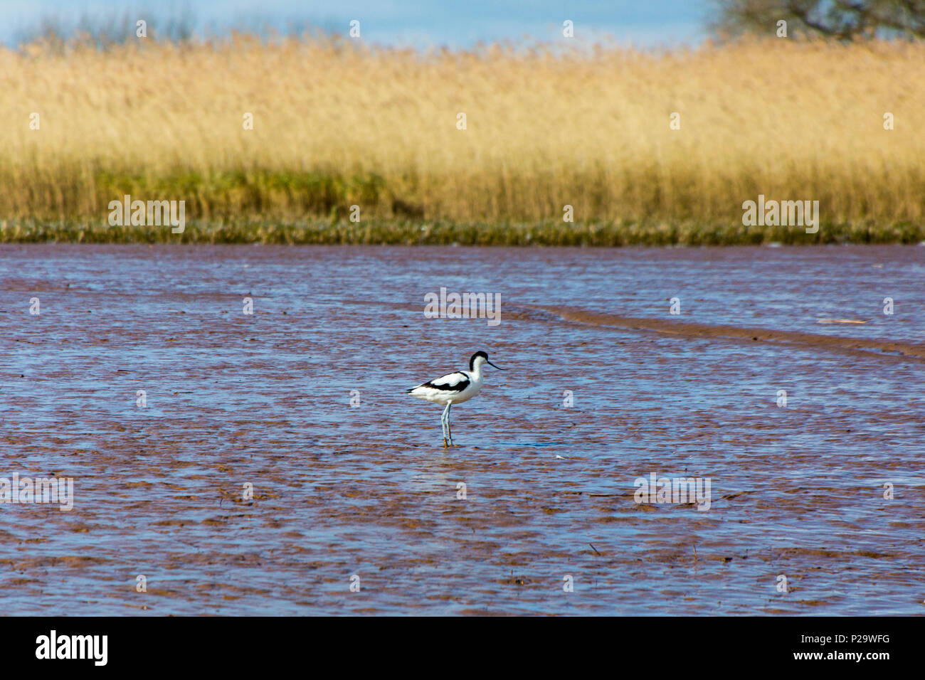 A pied avocet (Recurvirostra avosetta) feeding on the mudflats of the River Exe near Topsham, Devon, England, UK - Stock Image