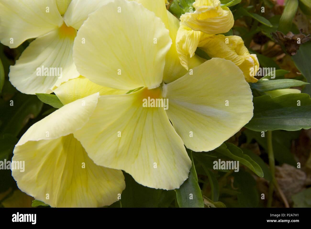 Pale yellow pansies called Matrix Primrose Pansy or Viola x wittrockiana - Stock Image