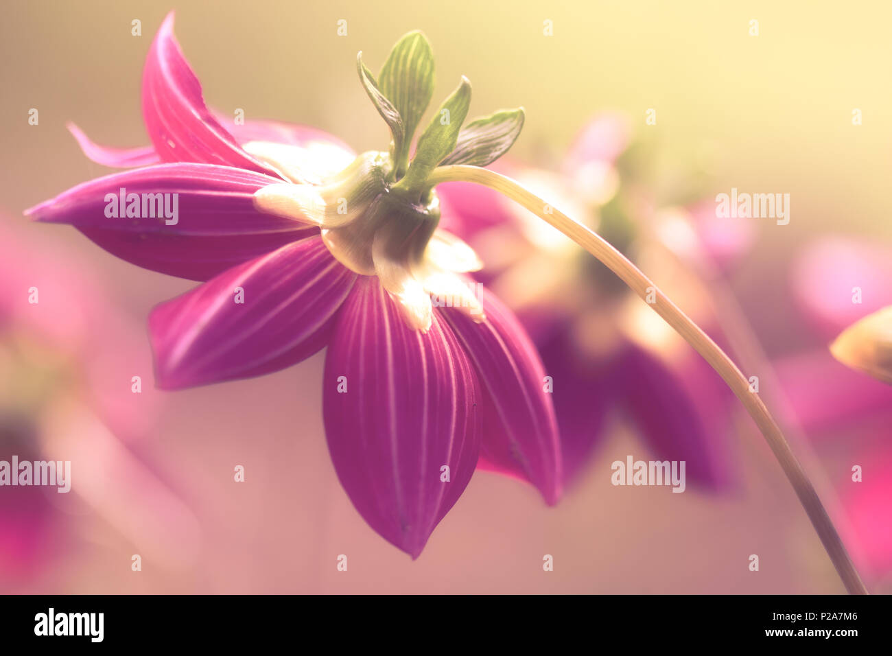 pink dahlias lined up on a blurred background, pastel colors - Stock Image