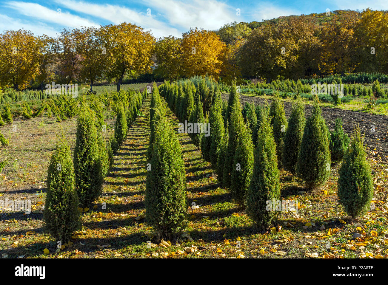 Thuja saplings in Pyatigorsk.Percalki nursery is located on the northern slope of Mount Mashuk and was created more than 120 years ago. - Stock Image