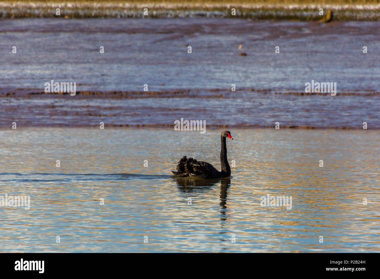 A black swan (Cygnus atratus)  drifting along the River Exe in winter near Topsham, Devon, England, UK - Stock Image