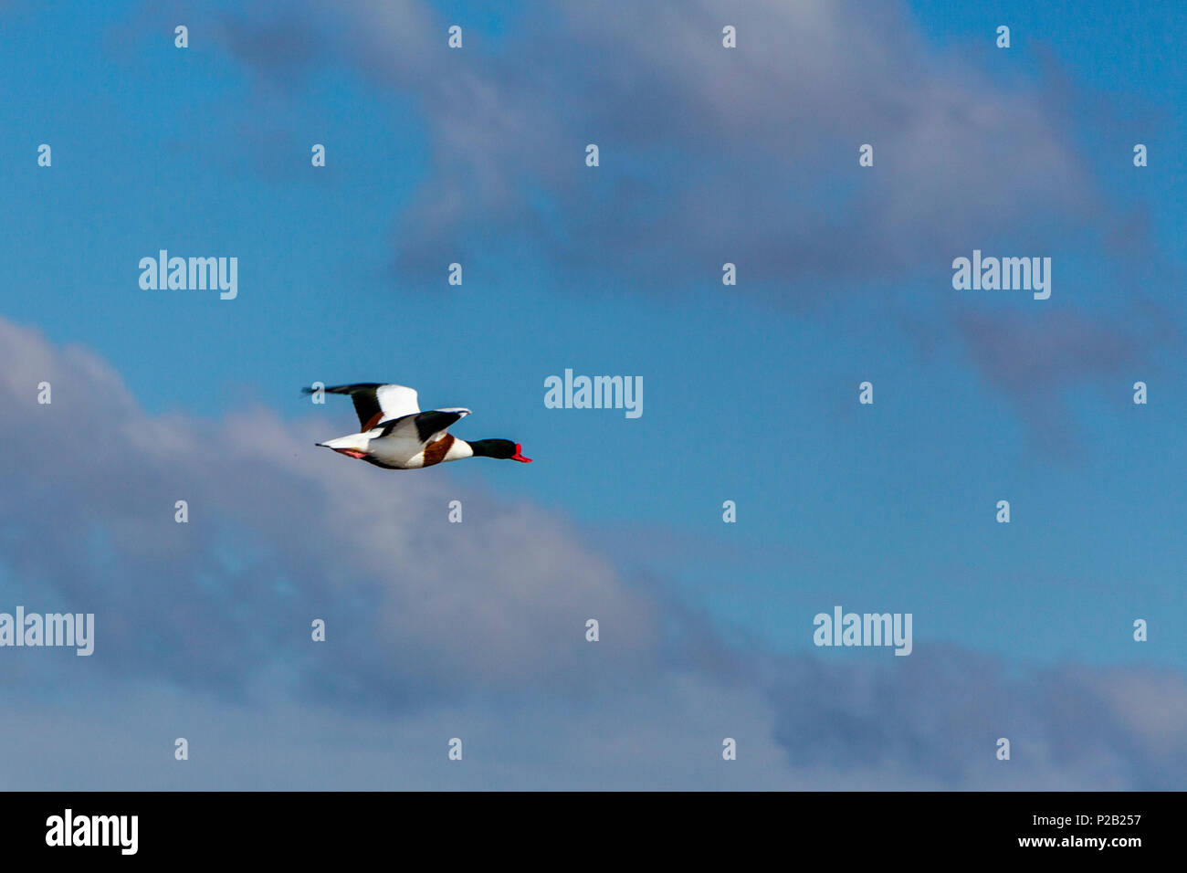 A Shelduck (Tadorna tadorna) in flight above the mudflats of the River Exe near Topsham, Devon, England, UK - Stock Image
