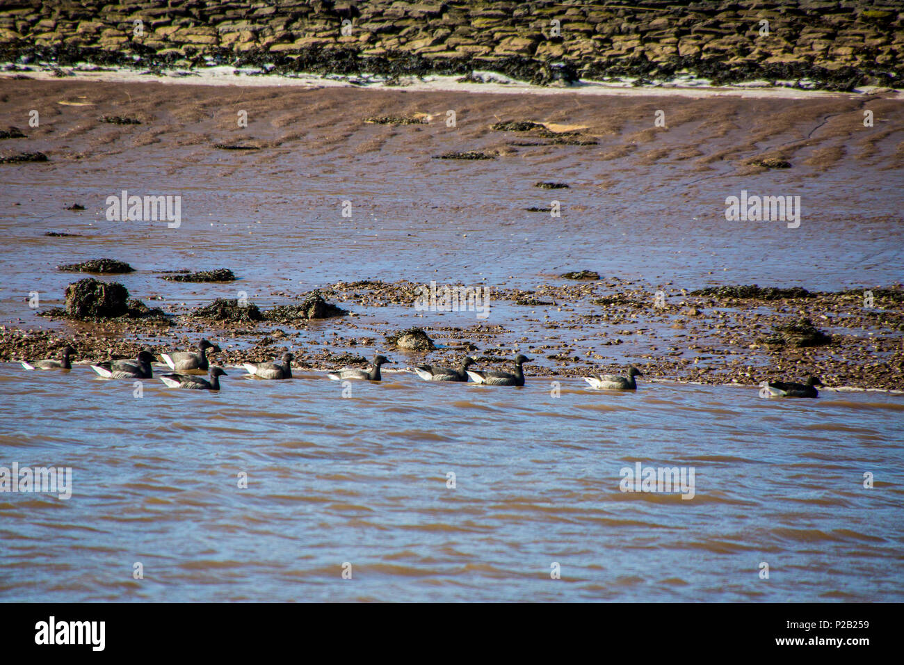 A group of Brent Geese (Branta bernicla) on the mudflats of the River Exe near Topsham, Devon, England, UK - Stock Image