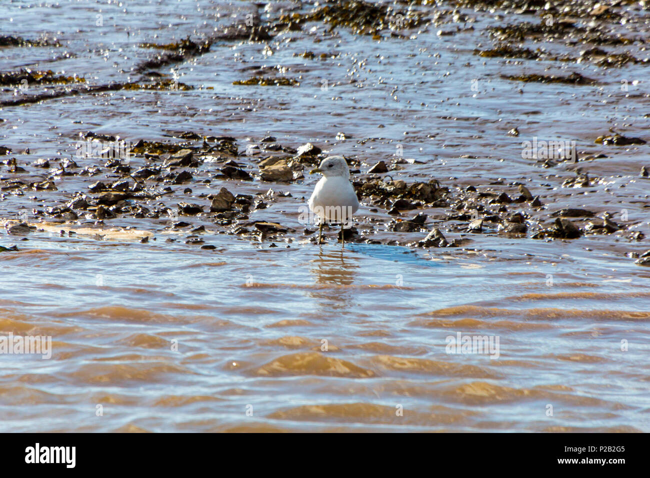 A solitary juvenile Common Gull (Larus canus) on the mudflats of the River Exe near Topsham, Devon, England, UK - Stock Image