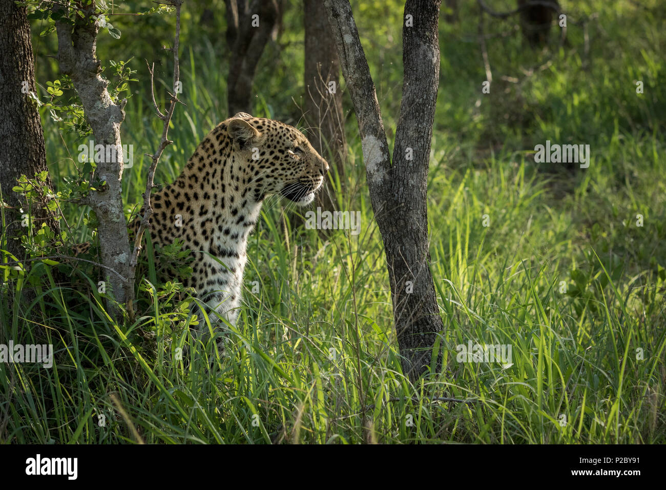 Side view of a beautiful female leopard that is busy searching for prey. - Stock Image