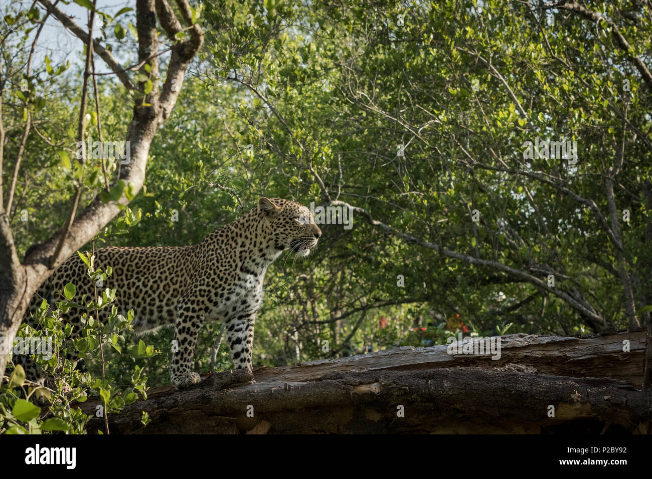 Adult female leopard standing on a branch in search of her next meal. - Stock Image