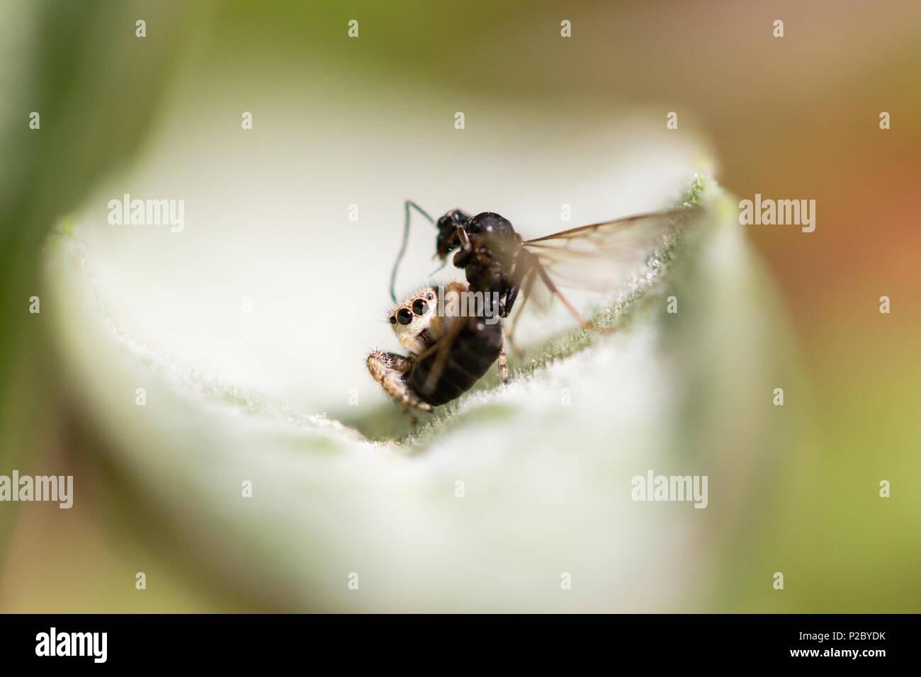 Salticidae spider feeding on a wasp Stock Photo