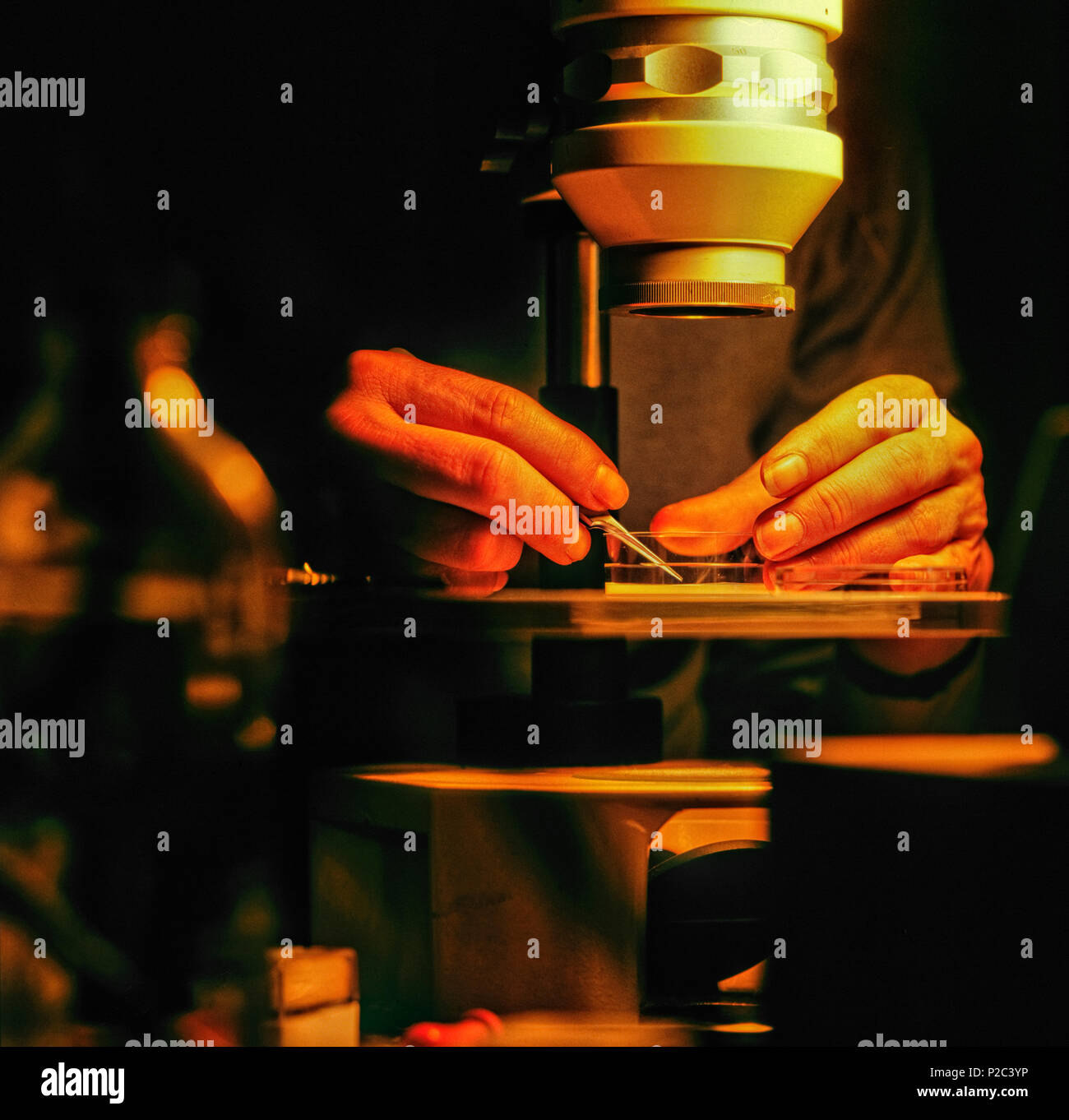 A scientist uses a low-power microscope to examine anatomy of a ...