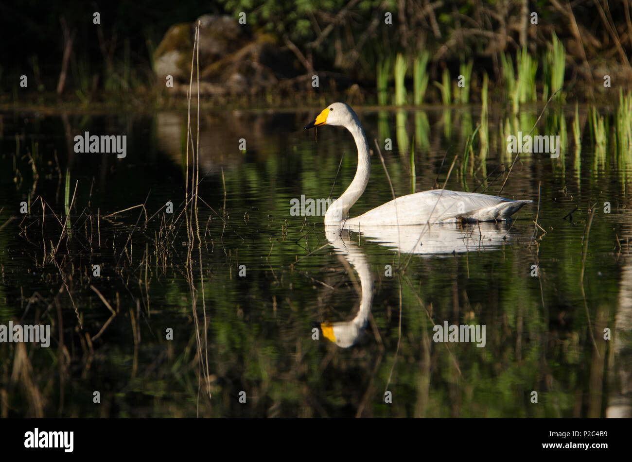 Cygnus cygnus (Golden reflection). Cygnus cygnus on golden early morning light. Lake Kukkia, Luopioinen, Finland. - Stock Image