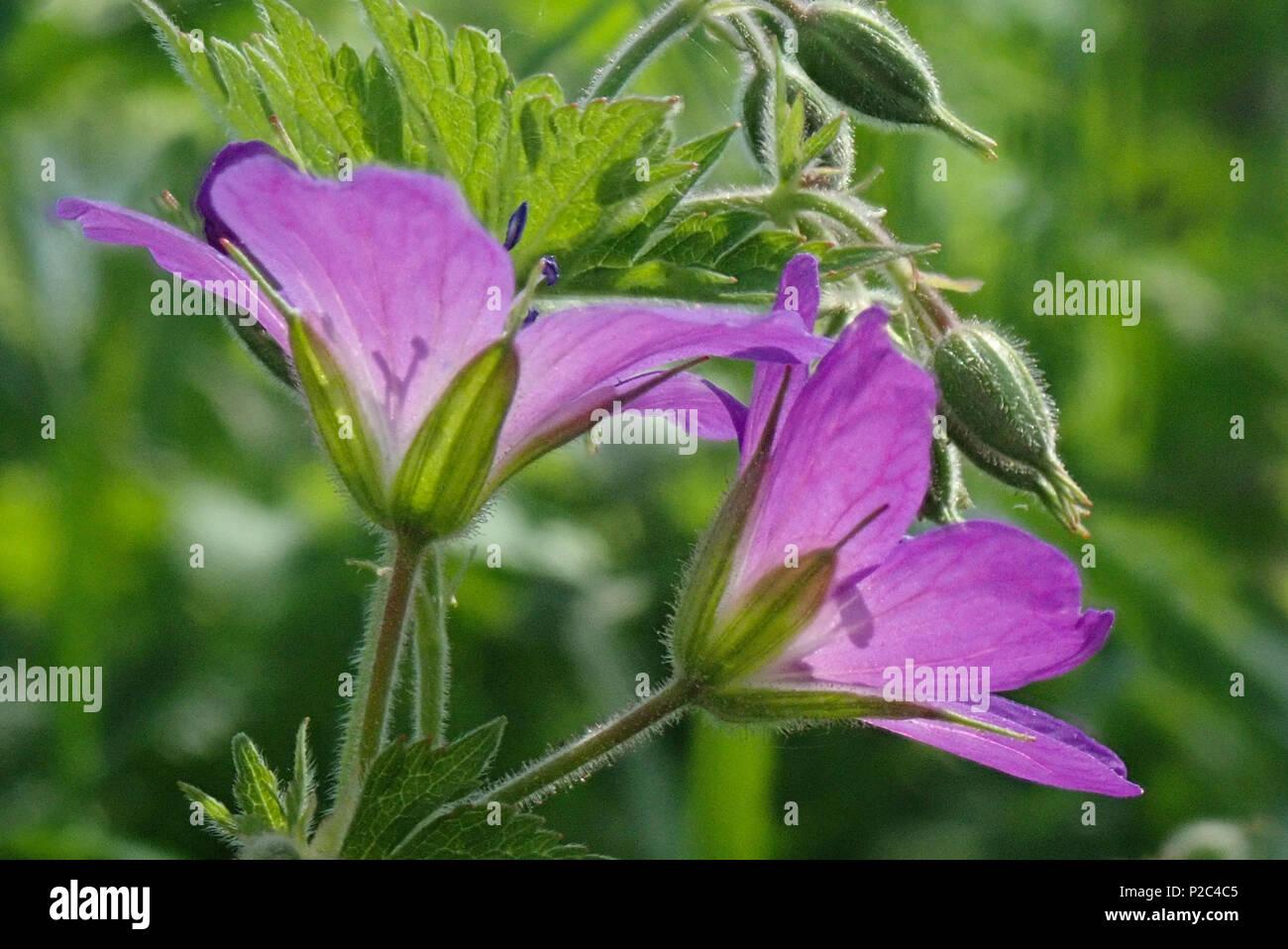 Geranium sylvaticum. Hausjärvi, Finland. 22.5.2018 - Stock Image