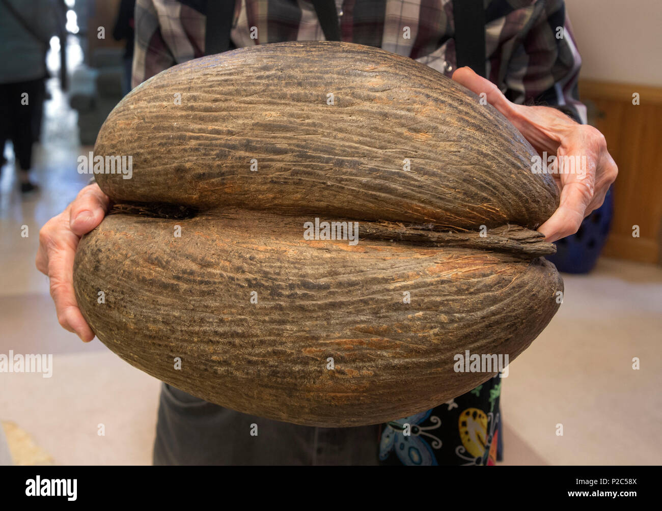 Man holding a Coco de Mer palm tree coconut, the largest seed of any plant in the world.  From the Seychelles Islands in the Indian Ocean.. - Stock Image