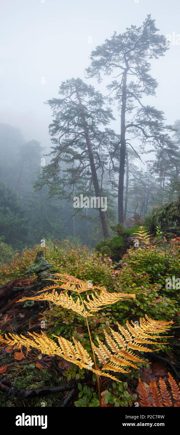 Mystical atmosphere with fog in the natural forest of the National Park Saxon Switzerland and ferns in the foreground, Saxony, G - Stock Image