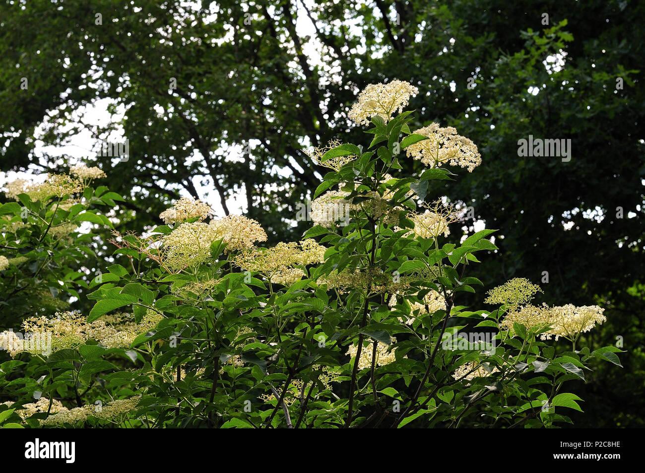 White Flower Cluster Of A Blooming Elder Bush Stock Photo 208023914