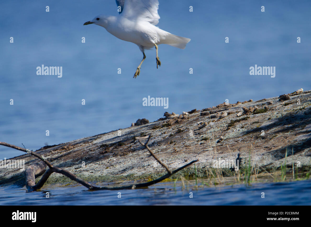 Larus canus (Up into Heavens). Lake Kukkia, Luopioinen, Finland. 25.5.2018 - Stock Image