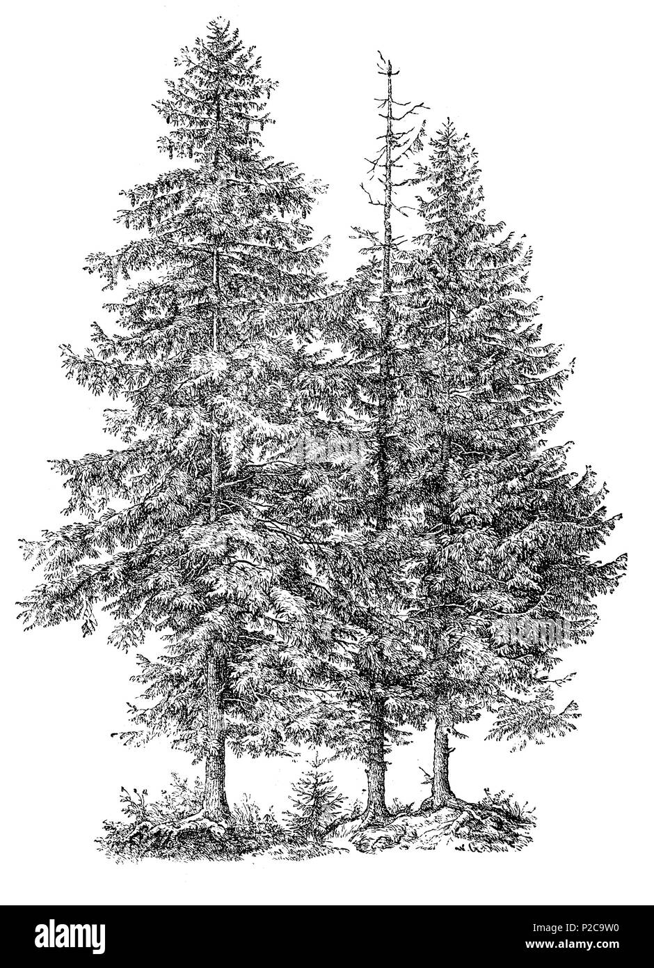 Norway spruce, Picea vulgaris, Picea abies, Fichte, digital improved reproduction from an original print from the 19th century, 1881 - Stock Image