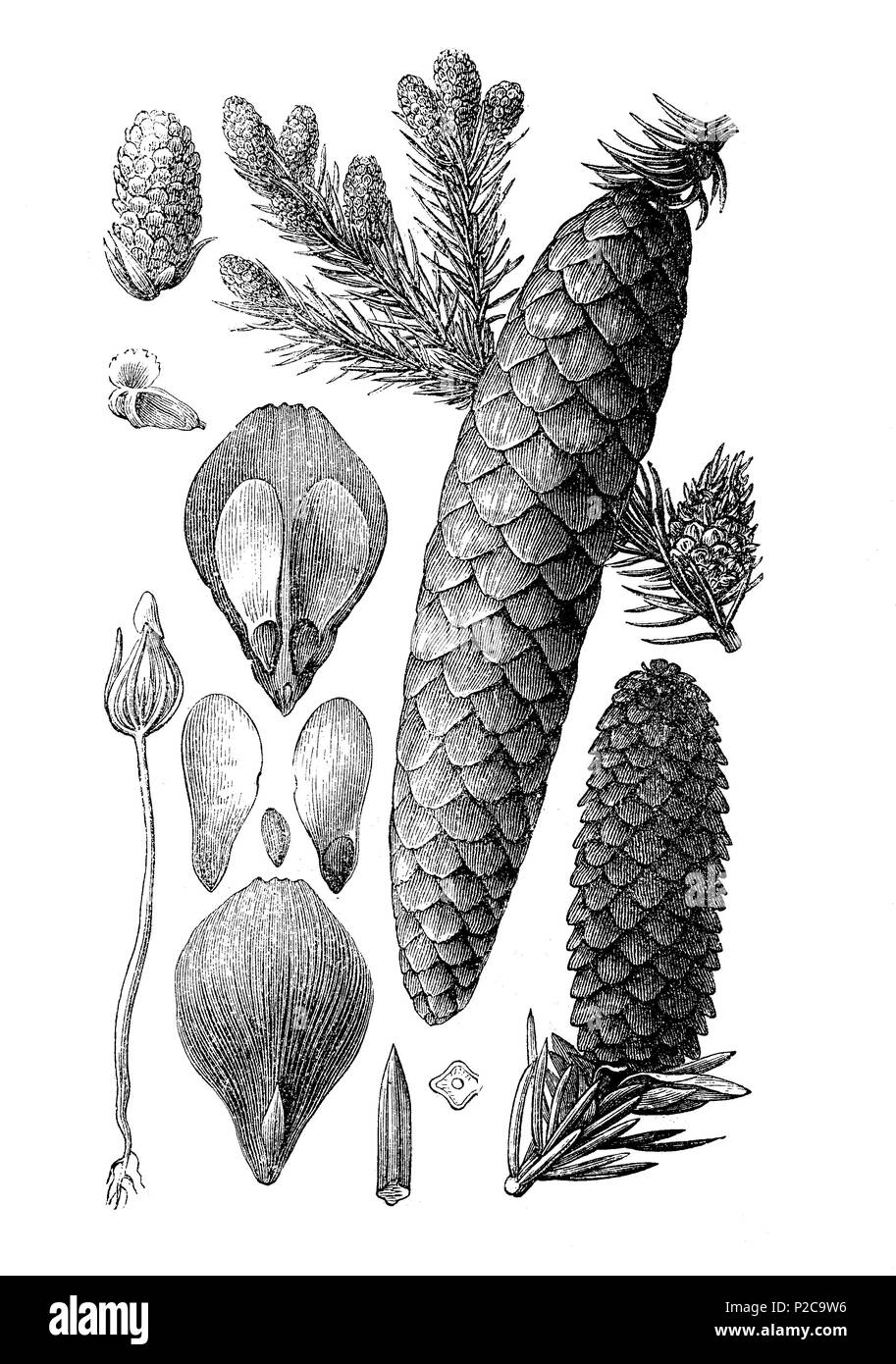 fruit and blossom of the Norway spruce, Picea vulgaris, Picea abies, Fichte, Früchte und Blüten, digital improved reproduction from an original print from the 19th century, 1881 - Stock Image