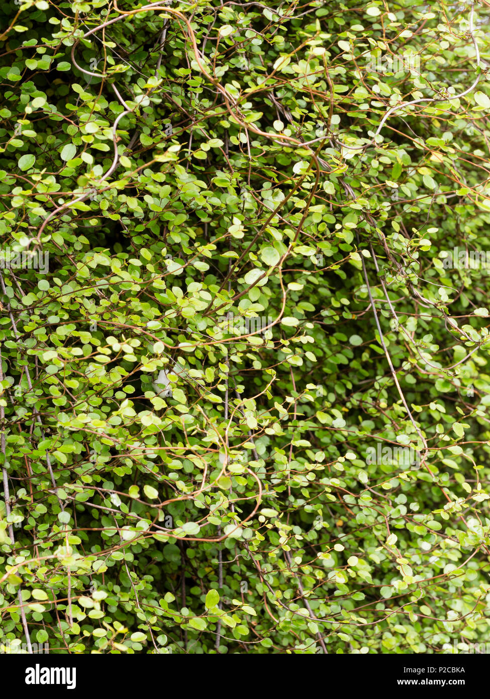 Small round leaves of the dense scrambling New Zealand Pohoehue shrub, Muehlenbeckia complexa - Stock Image