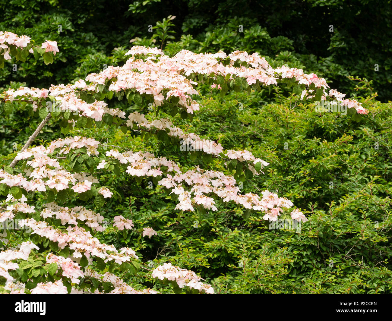 Delicate pink lacecap flowers arranged on tiered, slightly arching branches of the hardy shrub, Viburnum plicatum 'Pink Beauty' - Stock Image