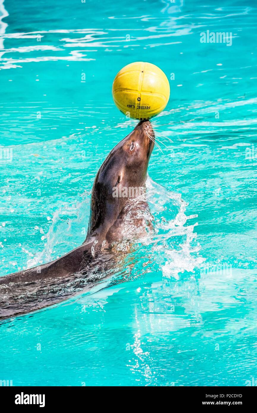 France, Sarthe, La Fleche, La Fleche Zoo, California sea lion (Zalophus californianus) during a show, juggling with a balloonotection status, Locally Protected Species, IUCN Status, Least Concern (LR-lc) - Stock Image