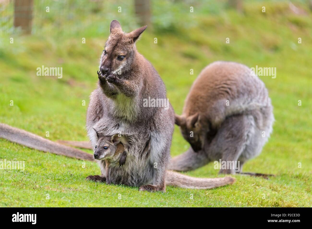 France, Sarthe, La Fleche, La Fleche Zoo, Wallabies of Bennett subspecies of the Red-necked Wallaby (Macropus rufogriseus)otection status, Unprotected species, IUCN status, Least Concern (LR / Ic) - Stock Image