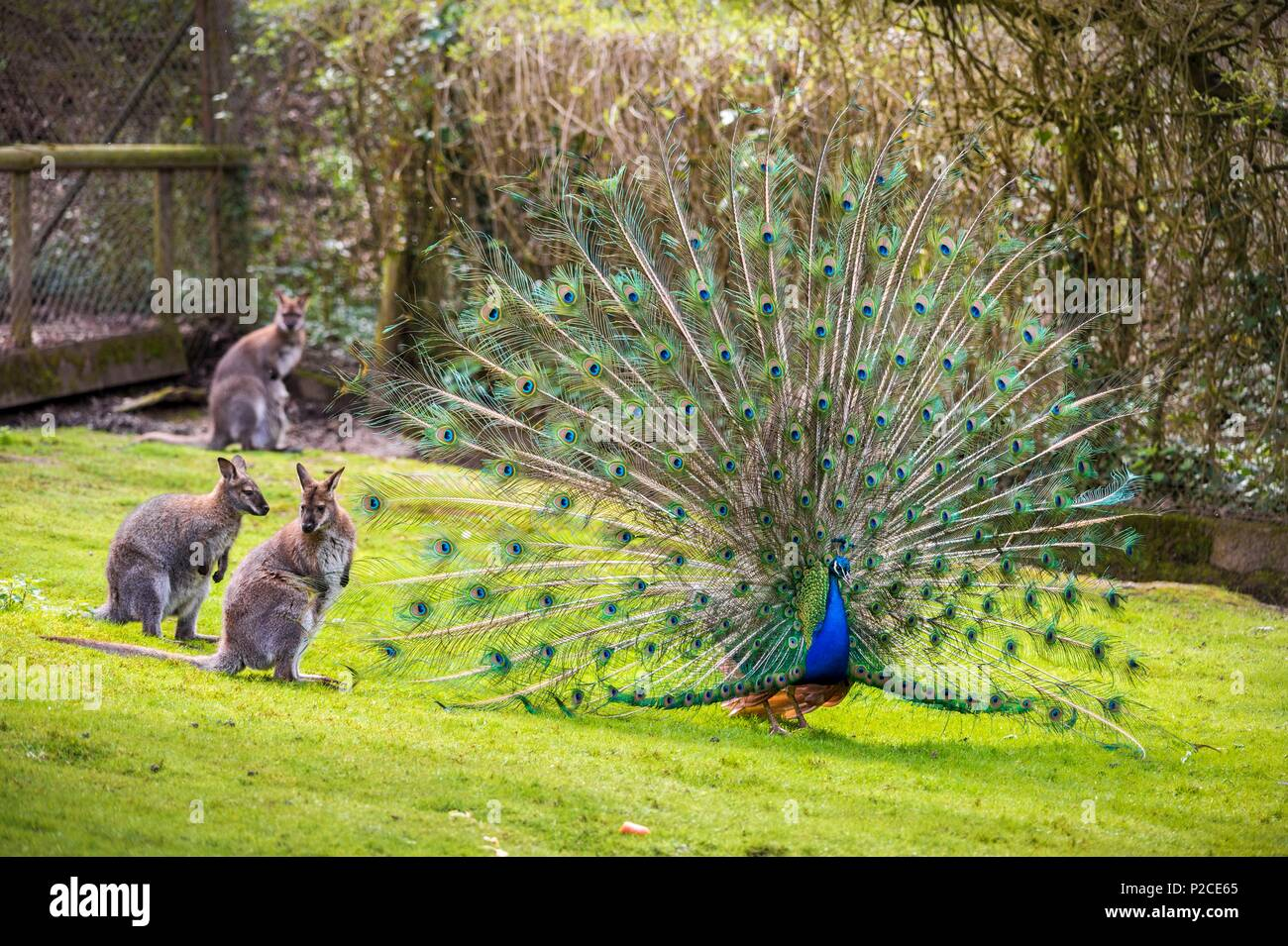 France, Sarthe, La Fleche, La Fleche Zoo, Blue peafow (Pavo cristatus) wheeling in front of Wallabies of Bennett subspecies of Red-necked Wallaby (Macropus rufogriseus)otection status, Unprotected species, IUCN status, Least Concern (LR / Ic) - Stock Image