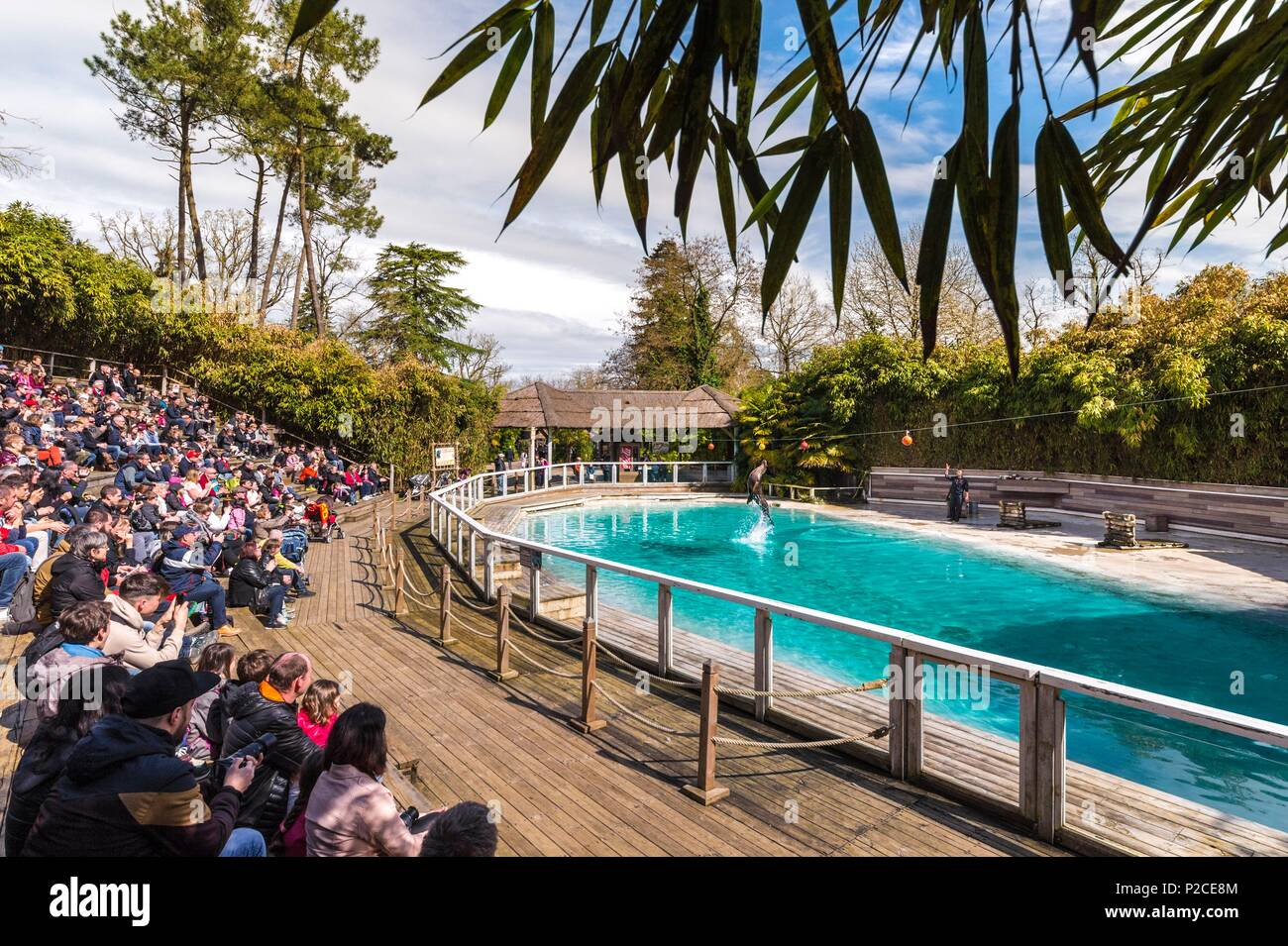 France, Sarthe, La Fleche, La Fleche Zoo, California Sea Lion (Zalophus californianus) during a show, jumping to touch a ballotection Status, Locally Protected Species, IUCN Status, Least Concern (LR-lc) - Stock Image