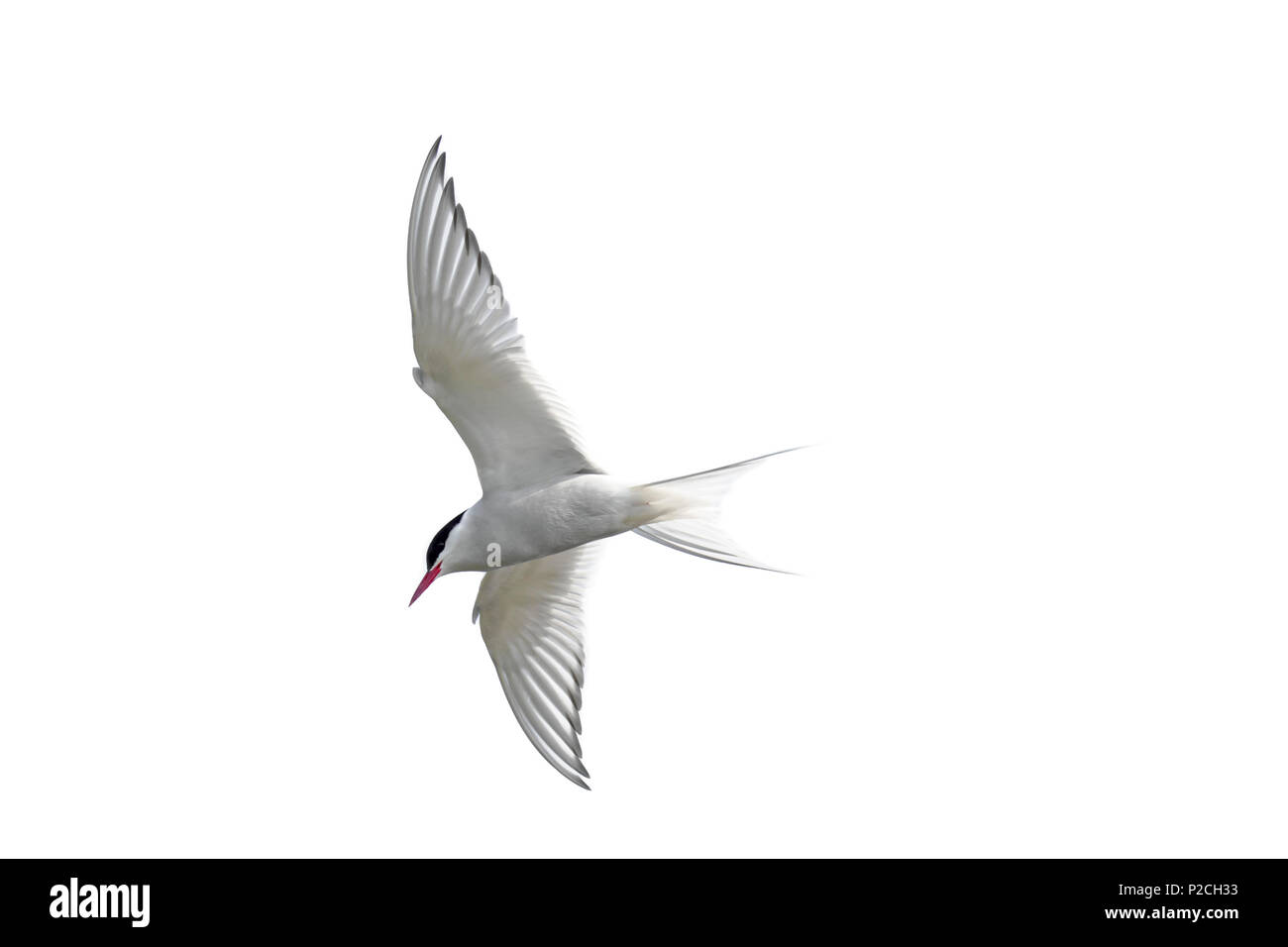 Arctic tern (Sterna paradisaea) in flight against white background, cutout / cut-out - Stock Image