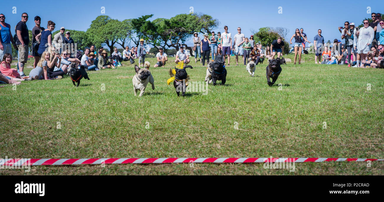 Race participants at pug dash, an annual fun racing event held in Muizenberg, Cape Town, Western Cape Province, South Africa - Stock Image