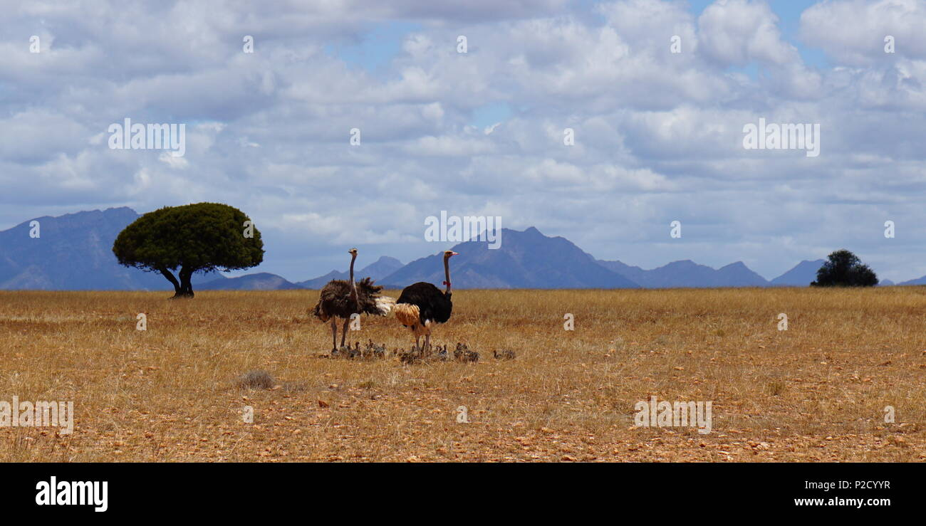 Family of ostriches in Africa - Stock Image
