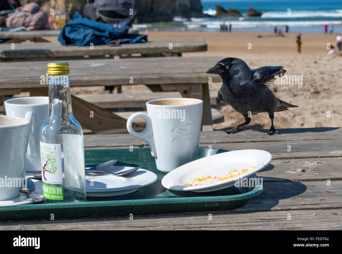 jackdaw scavenging for leftover food at a beach cafe table in cornwall, england, britai, uk. - Stock Image