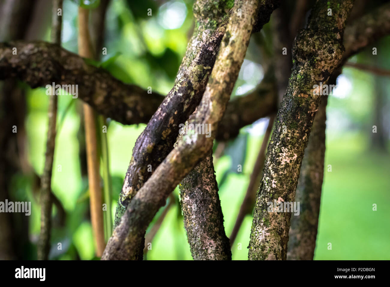 wet vines of a tree with a blurry background - Stock Image
