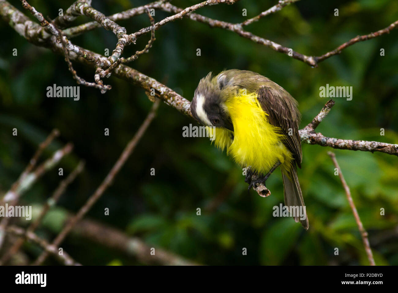 Little yellow breasted flycatcher bowing - Stock Image