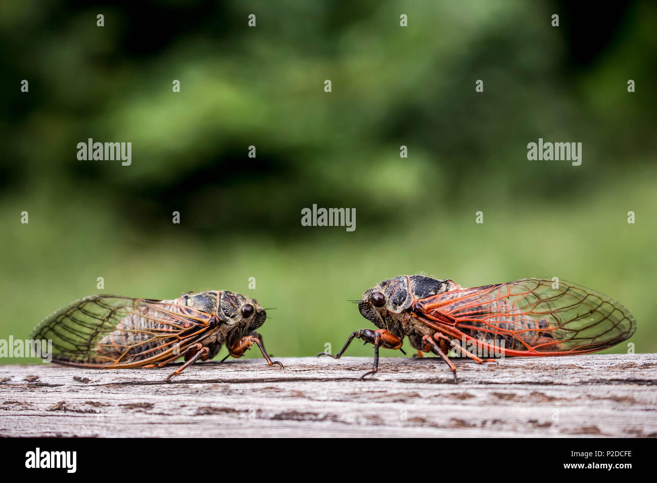 Two adult cicadas Tibicina haematodes with orange veins on the wings - Stock Image