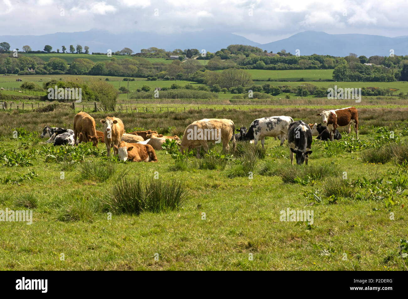 Bullocks in a field of rough grazing, this gives the meat a leaner richer flavour Stock Photo