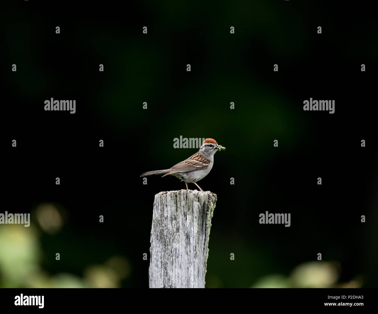 Chipping Sparrow - Stock Image