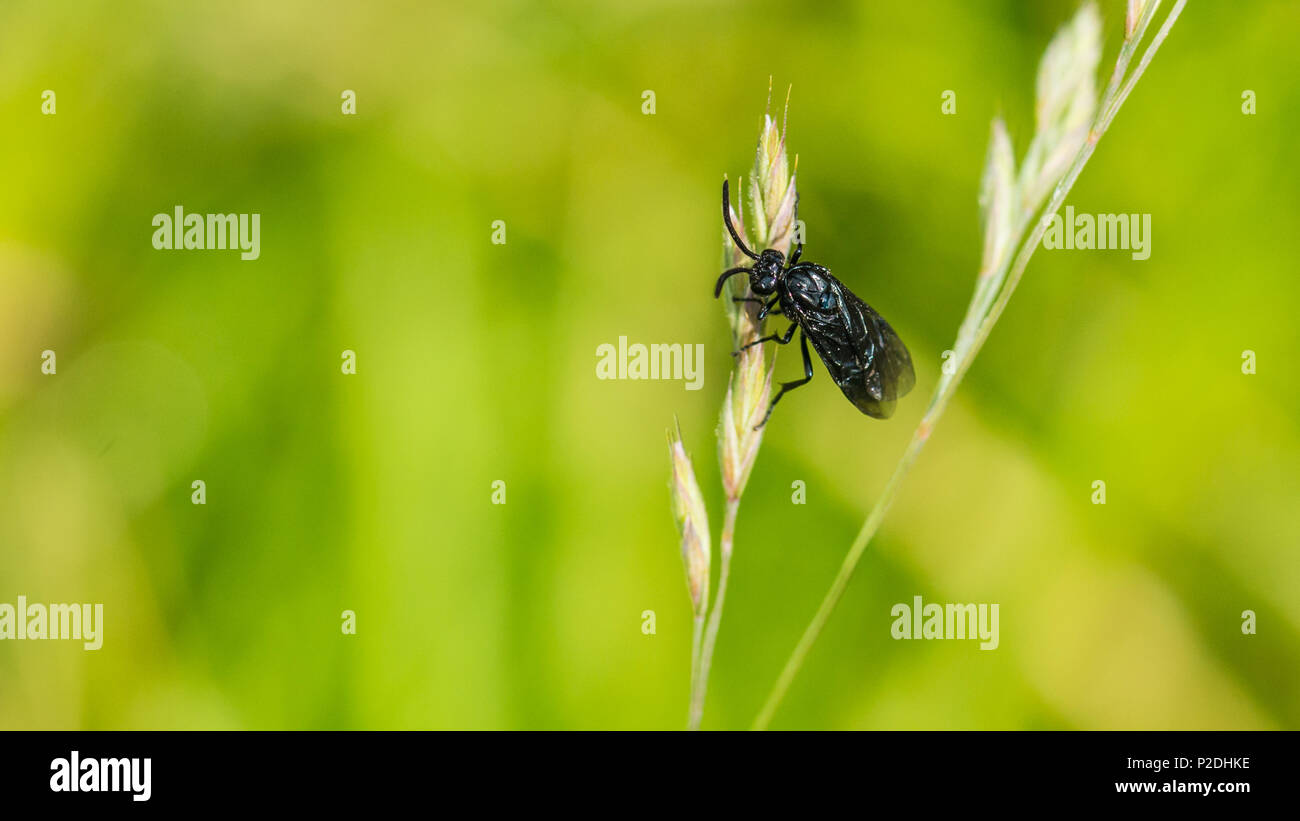 A macro shot of a berberis sawfly clinging to a grass seed. - Stock Image
