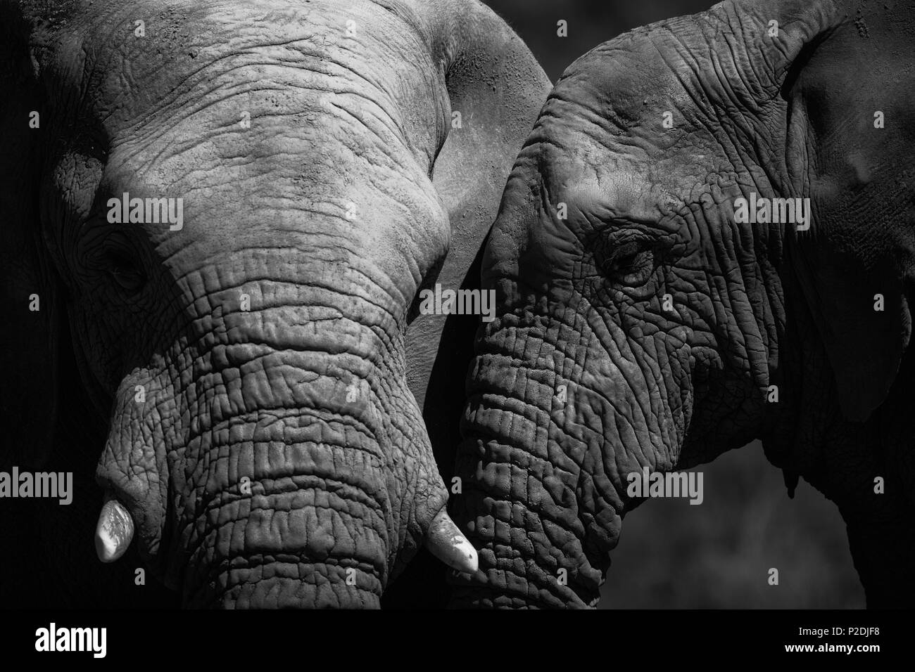 Two elephants mating in the forest - Stock Image