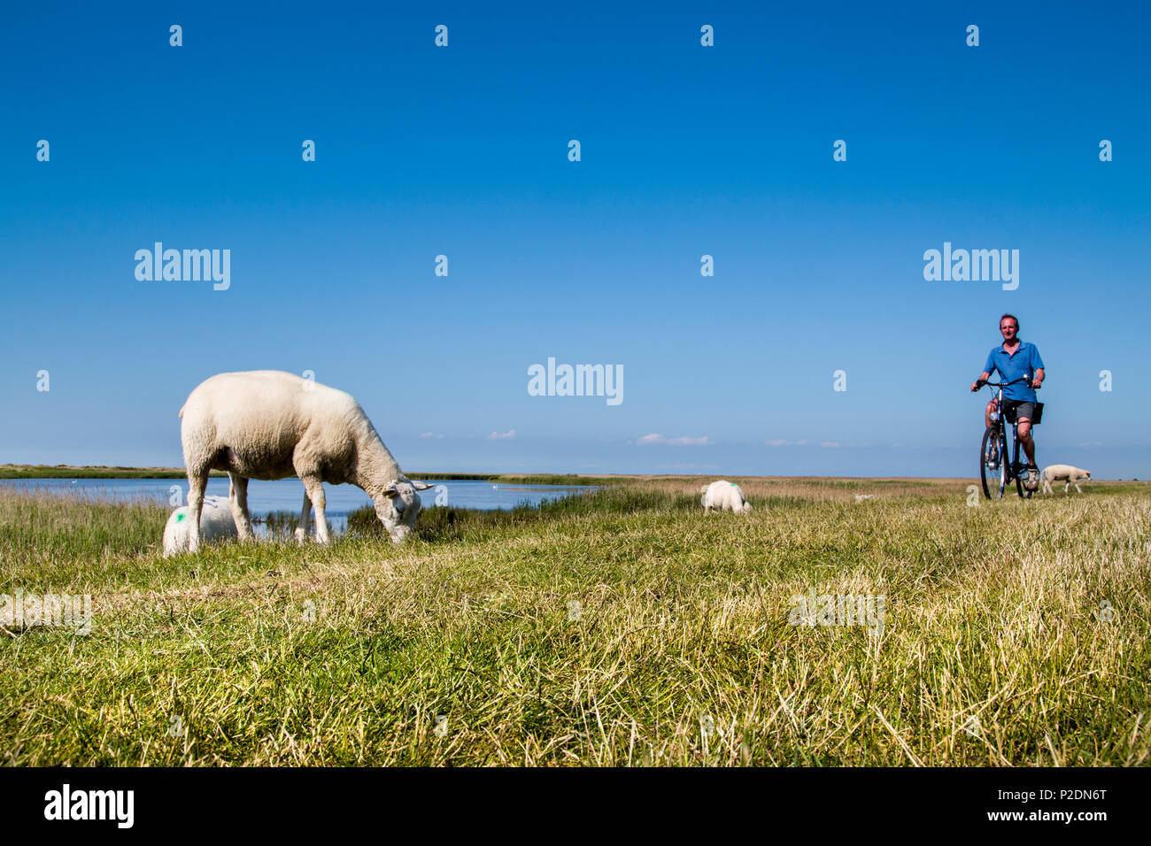 Cyclist and sheep on a dike, Westermarkelsdorf, Fehmarn island, Baltic Coast, Schleswig-Holstein, Germany - Stock Image