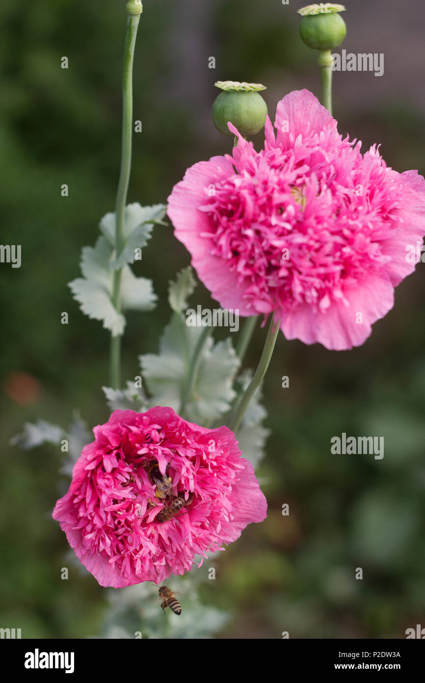 Flowers Of Unusual Double Pink Poppies In The Garden Bees And