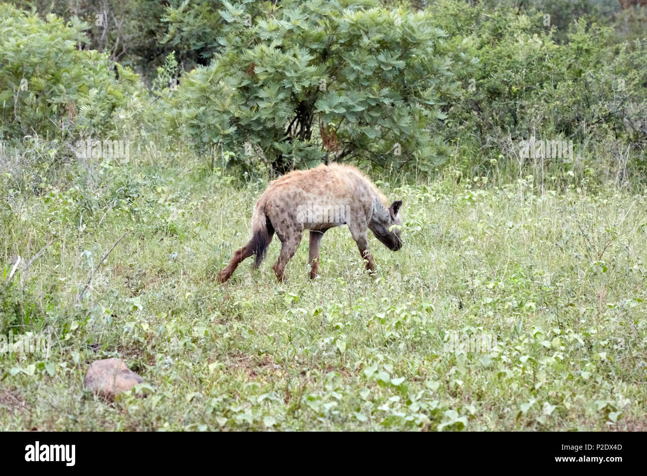 Hyena in Kruger National Park Game Reserve South Africa - Stock Image