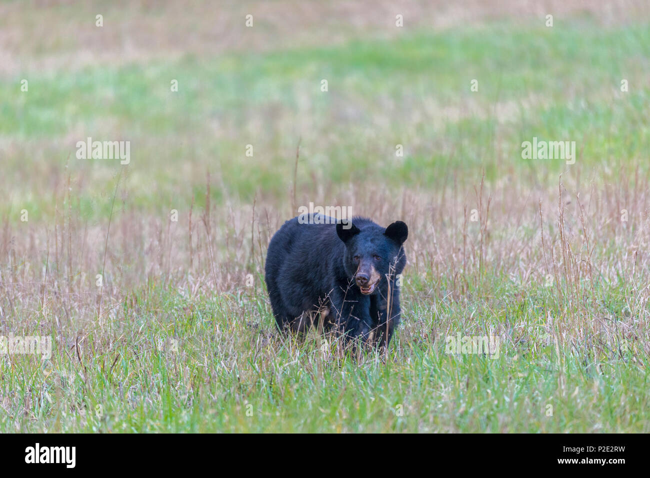 A North American Black Bear standing in a field in the Smoky Mountains with copy space.  He is facing the camera. - Stock Image