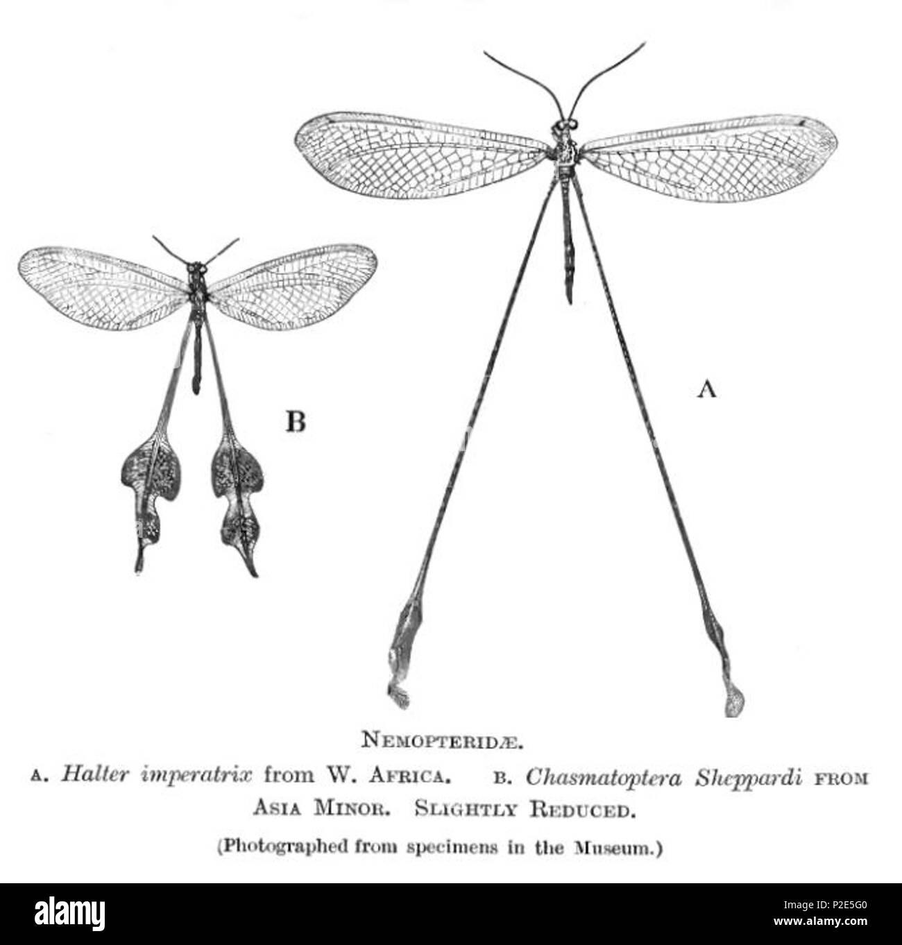 . Nemopteridae . 1909. British Museum of Natural History 36 NemopteridaeBMNH - Stock Image