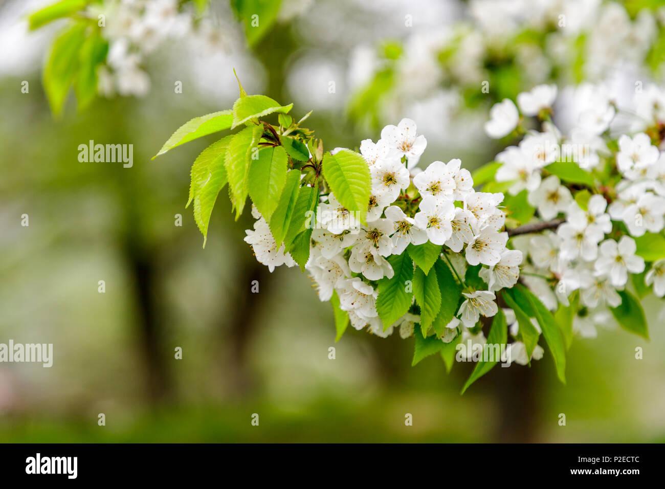 Beautiful cherry blossom (Cerasus avium) in spring time in nature. - Stock Image