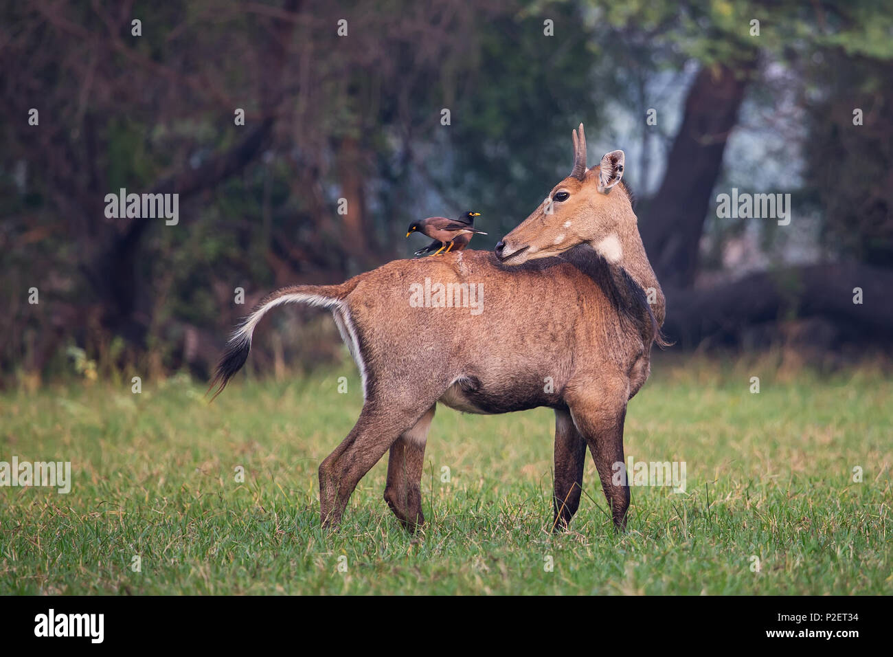 Male Nilgai with Brahminy mynas sitting on him in Keoladeo National Park, Bharatpur, India. Nilgai is the largest Asian antelope and is endemic to the - Stock Image