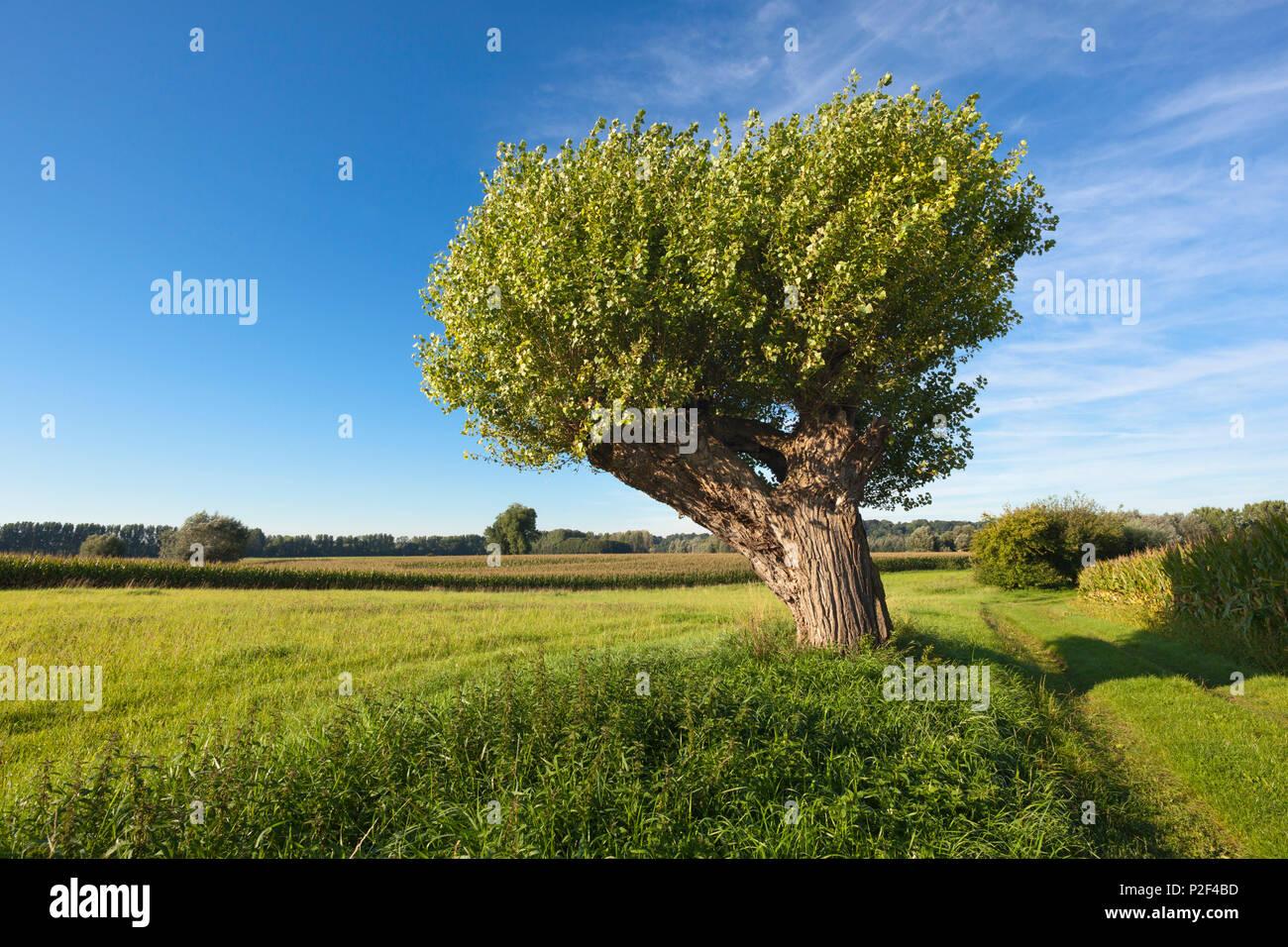 Pollard willow at Bislicher Insel, near Xanten, Lower Rhine, North-Rhine Westphalia, Germany Stock Photo